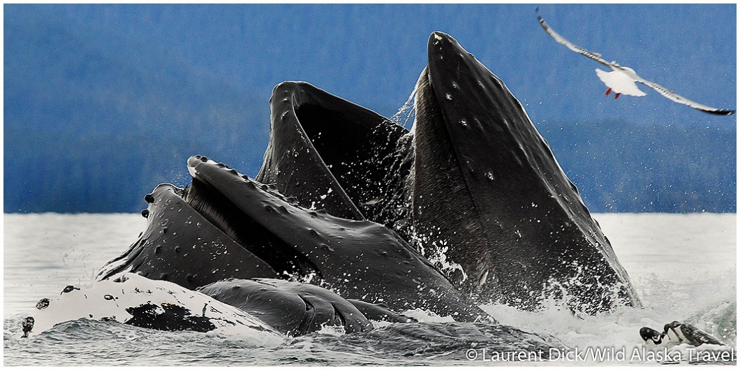 Humpback Whales Bubblenet Feeding Berners Bay - Photo (c) Laurent Dick - Wild Alaska Travel