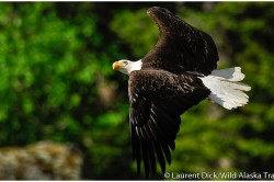 American Bald Eagle (c) Laurent Dick - Wild Alaska Travel