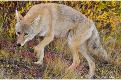 Coyote, Denali National Park - Photo (c) Laurent Dick - Wild Alaska Travel