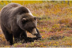 Grizzly Bear Viewing Denali National Park - (c) Laurent Dick -Wild Alaska Travel