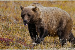 Grizzly Bear Viewing Denali National Park - Photo (c) Laurent Dick - Wild Alaska Travel