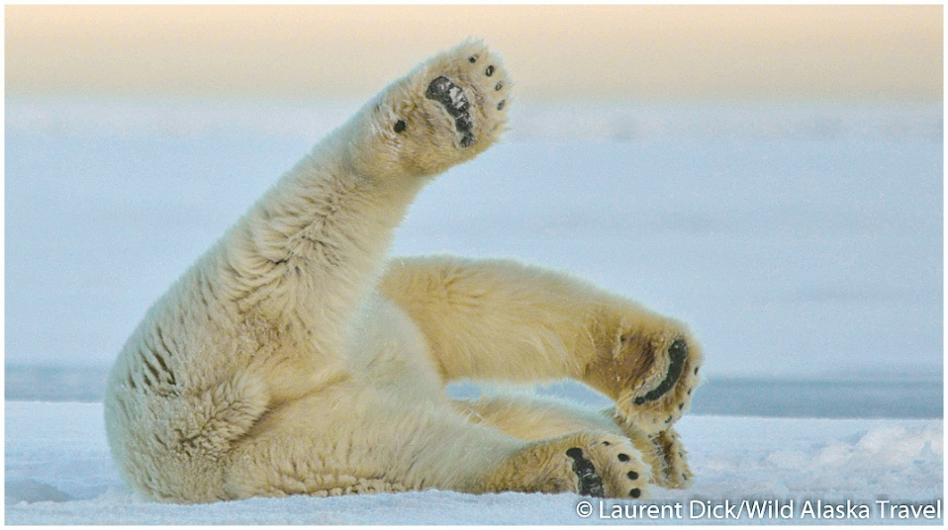 Polar Bear Claws Images & Pictures - Becuo