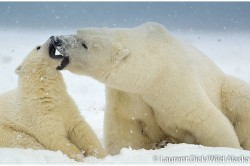 Polar Bear Cub and Sow Playing in Arctic Alaska - Photo (c) Laurent Dick - Wild Alaska Travel
