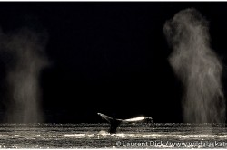 Humpback Whale Tail and Spouts - Photo (c) Laurent Dick - Wild Alaska Travel