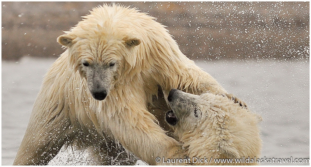 Alaska Polar Bear Cubs Kaktovik --- Photo (c) Laurent Dick - Wild Alaska Travel