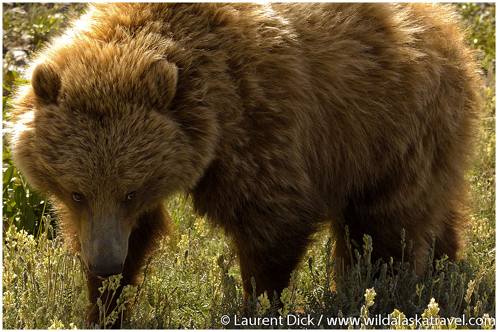 Grizzly Bear Cub Yearling - Photo (c) Laurent Dick - Wild Alaska Travel