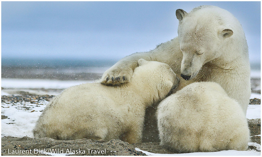 Alaska Polar Bear Sow Nursing Cubs - Photo (c) Laurent Dick - Wild Alaska Travel