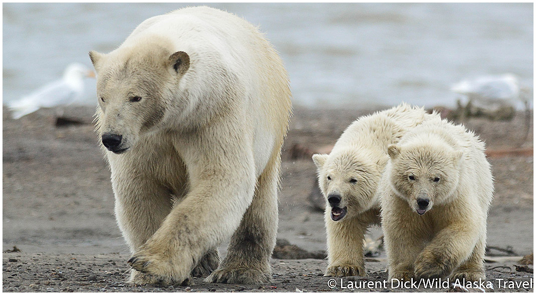 Alaska Polar Bear Sow With Cubs - Photo (c) Laurent Dick - Wild Alaska Travel