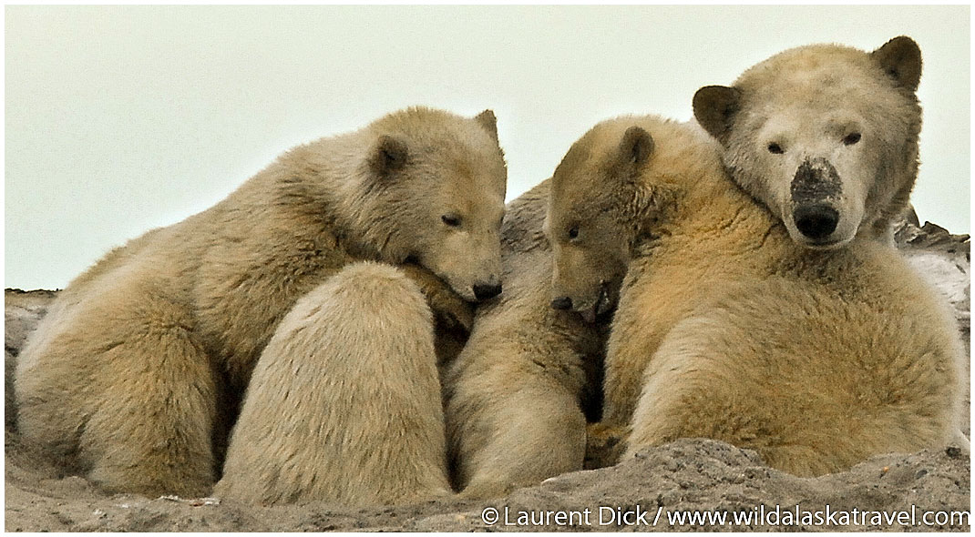 Alaska Polar Bear Sow with Cubs -- Photo (c) Laurent Dick - Wild Alaska Travel