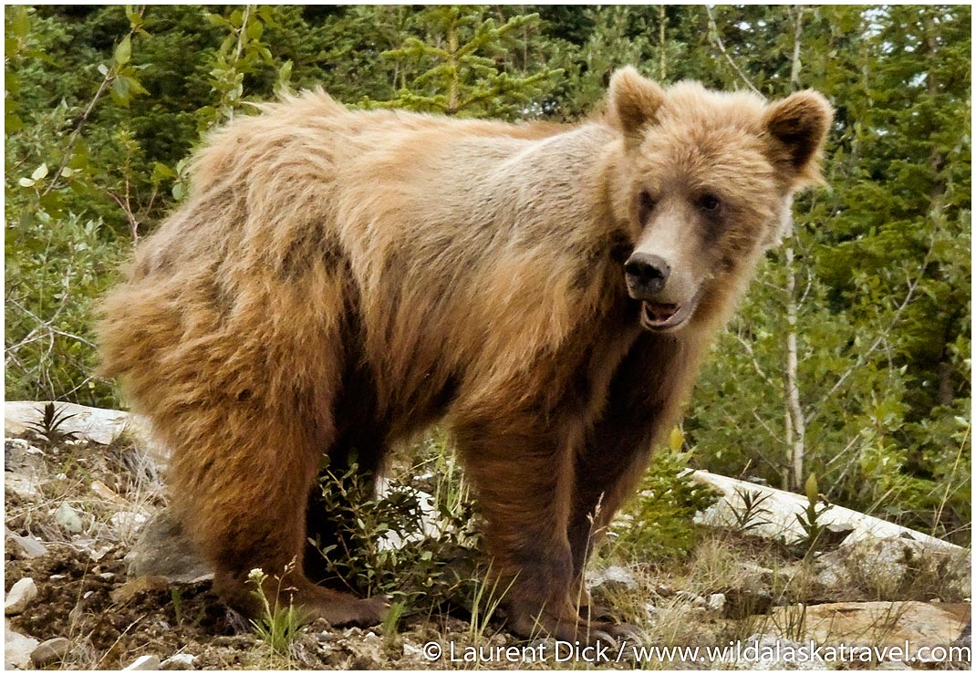Grizzly Bear Cub Kluane Yukon - Photo (c) Laurent Dick - Wild Alaska Travel
