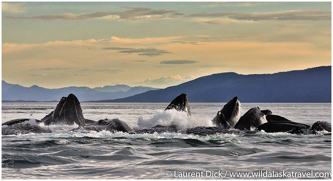 Humpback Whales Bubble net Feeding - Photo (c) Laurent Dick - Wild Alaska Travel